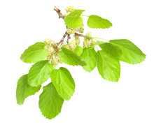 Mulberry Isolated On White Background
