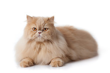 Persian Cat Isolated On White....