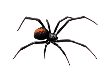 Fototapeta Spider, Redback or Black Widow, isolated on white