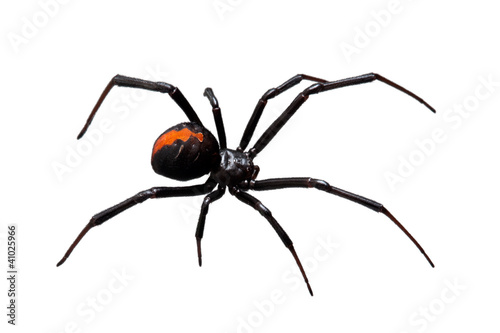 Photo Spider, Redback or Black Widow,  isolated on white