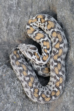 Female Wagner's Viper - Pattern