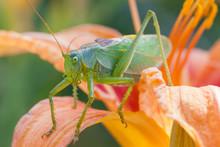Katydid, Green Bush-cricket  (Tettigonia Cantans) On A Day-lily