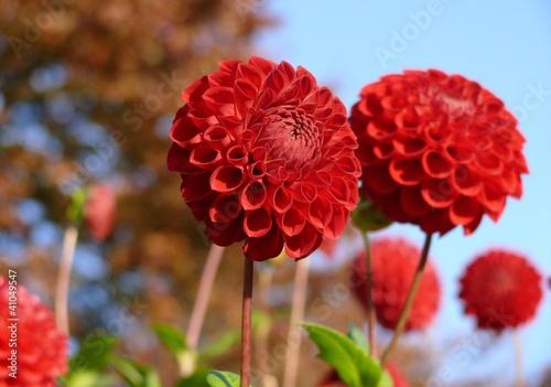Poster de jardin Dahlia Blüte rot