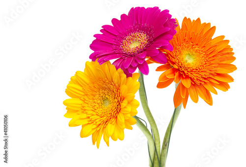 Wall Murals Gerbera Gerber Daisy isolated on white background