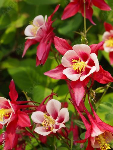 Canvas Print Columbine Flower Crimson Star