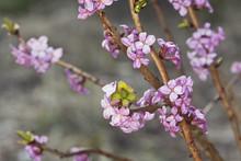Blooming Daphne Mezereum