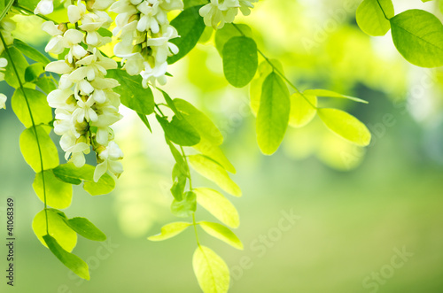 acacia flowers Wallpaper Mural