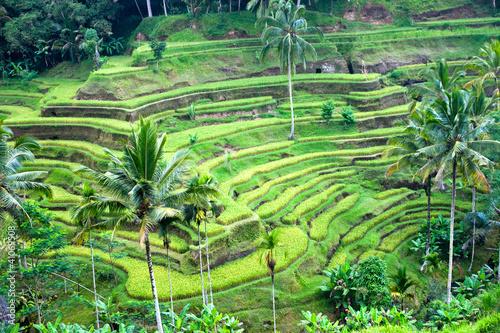 Foto op Aluminium Bali Amazing Rice Terrace field, Ubud, Bali, Indonesia.