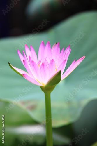 Foto op Aluminium Lotusbloem Beautiful pink lotus flower.