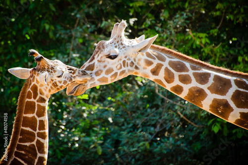 Photo  Giraffe female with her young