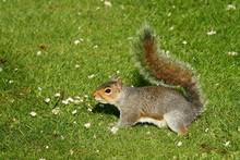 Grey Squirrel On Grass
