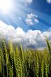 spighe di grano sole