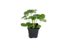 Young Strawberry Plant In A Bl...