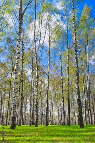 Deurstickers Berkbosje Spring biirchwood