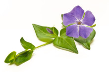Pervinca Selvatica