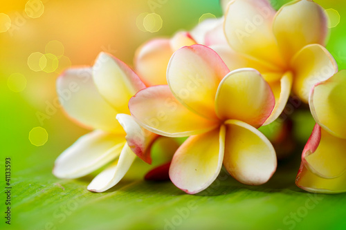 Poster Frangipani Frangipani Tropical Spa Flower. Plumeria. Shallow DOF