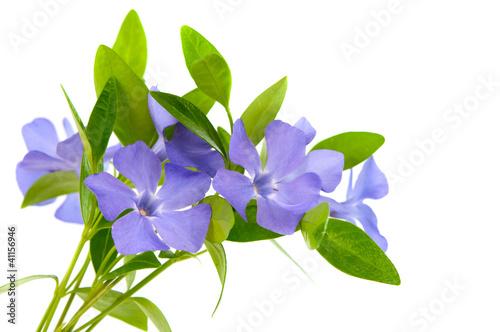 Obraz na plátně periwinkle flower isolated