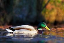 Male Mallard Duck Swimming In The Water Amongst Vegetation