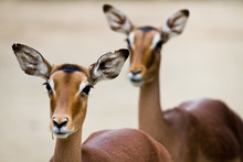 Close-up Of Two Antelope