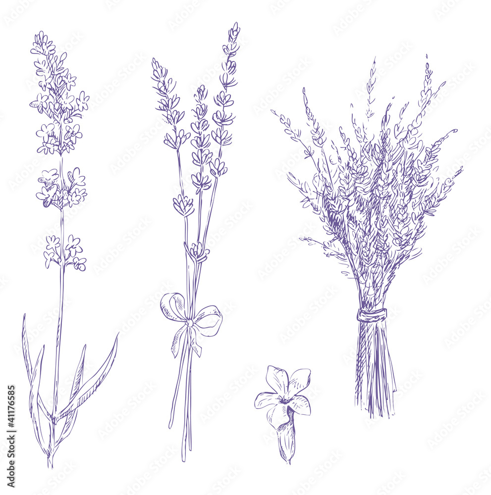 Fototapety, obrazy: lavender pencil drawing vector set