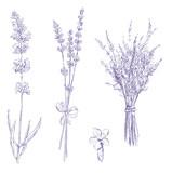 lavender pencil drawing vector set