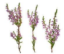 Three Purple Heather Branches