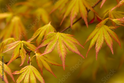 japanese acer leaves Canvas Print