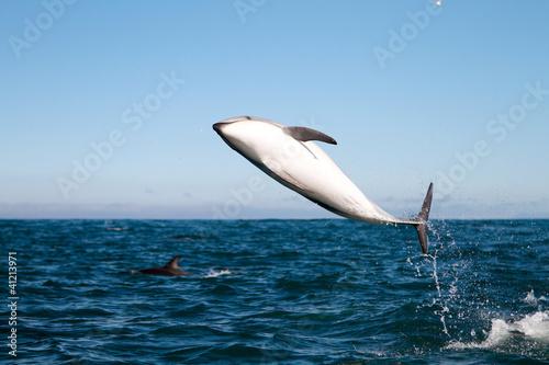 Staande foto Dolfijnen Dusky dolphin jumping