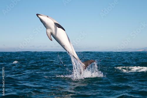 Poster Dolfijnen Dusky dolphin jumping