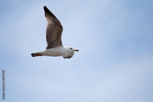 Fotografie, Obraz  Gabbiano in volo