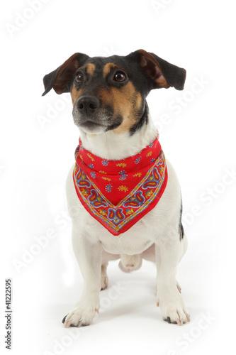 Chien Jack Russel Terrier Avec Foulard Bandana Buy This Stock