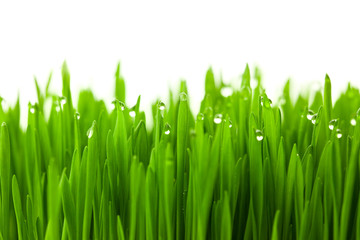 Fototapeta Fresh green wheat grass with drops dew / isolated on white with