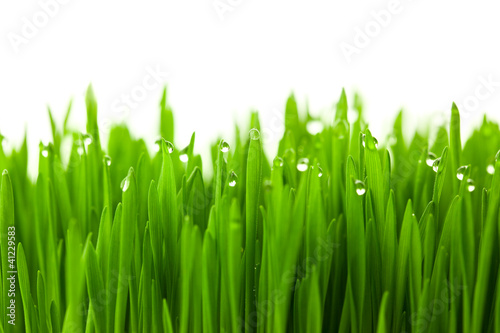 Fotobehang Gras Fresh green wheat grass with drops dew / isolated on white with