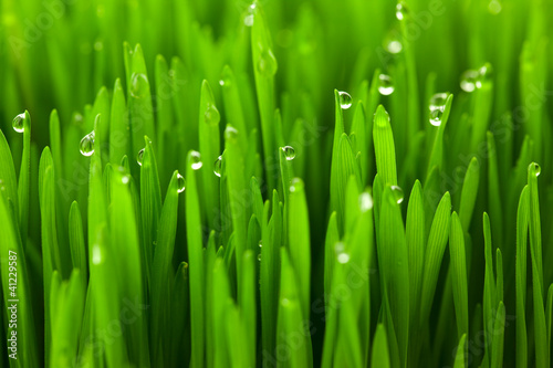 Fotobehang Gras Fresh green wheat grass with drops dew / macro background