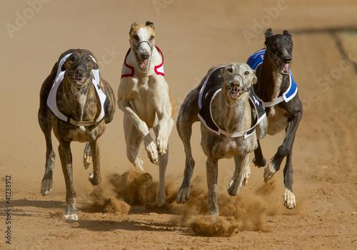 Fotografia racing greyhouns