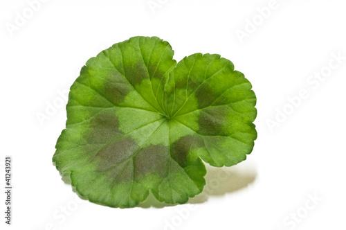 Fotografija  Foglia di Geranio - Geranium Leaf