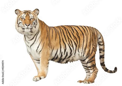 Foto auf AluDibond Tiger Portrait of a Royal Bengal tiger