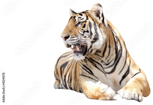 Papiers peints Tigre Tiger sit