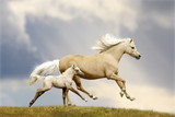 Fototapeta Konie - pony mare and foal