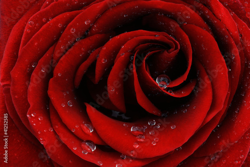 Foto op Aluminium Roses Red rose closeup