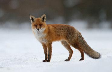 Fototapeta red fox in the snow
