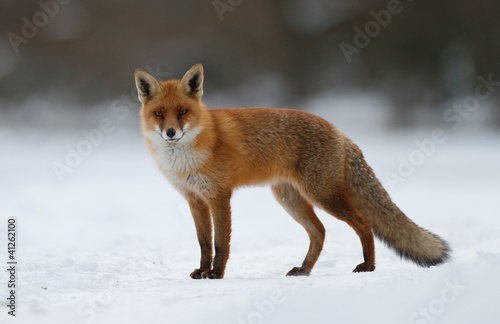 red fox in the snow Wallpaper Mural
