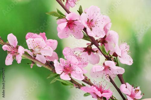Fototapeta wiosna brzoskwiniowe-kwiaty-w-wiosennym-sloncu