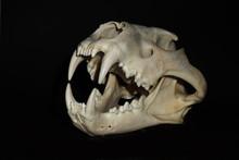 Left View Of Male Lion Skull