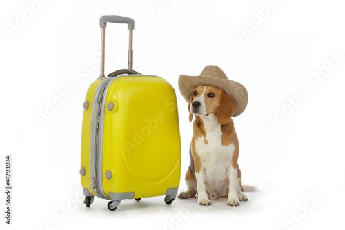 Poster de jardin Vache chien beagle avec valise et chapeau cow-boy