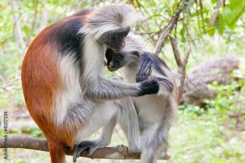 Poster Zanzibar Red colobus (Piliocolobus kirki) monkeys