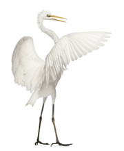 Great Egret Or Great White Egr...