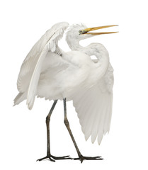 Great Egret or Great White Egret or Common Egret, Ardea alba