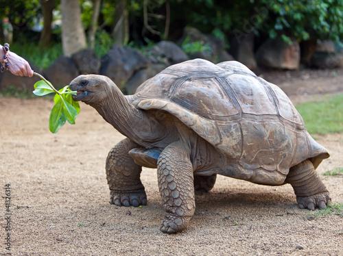 Fotografie, Obraz  Big Seychelles turtle eat.La Vanille Reserve park.Mauritius...