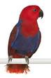 Female Eclectus Parrot, Eclectus roratus